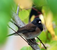 peek-a-boo, I see you (foresterbonie) Tags: canada birds bc junco backyardbirds