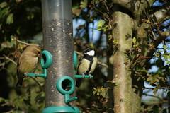 Great Tit & Green Finch (Rovers number 9) Tags: uk autumn bird birds garden october wildlife sony lancashire greenfinch greattit 2010 gardenbirds a350 euxton minoltaaf100200f45 minoltabeercan sonya350 oct2010