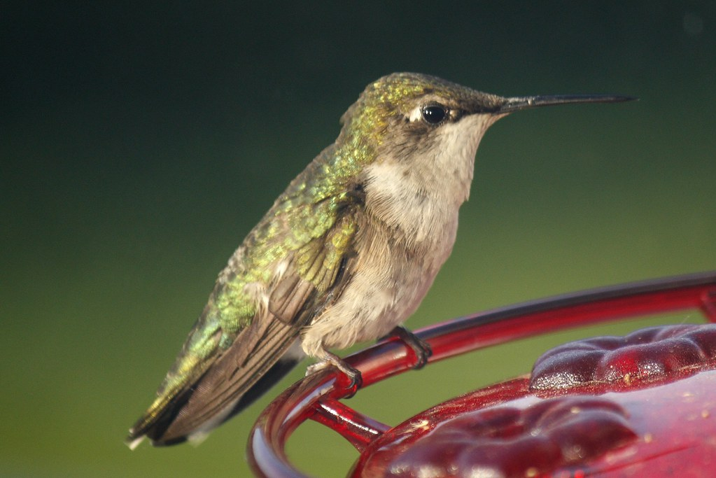 Ruby-throated hummingbird (15)