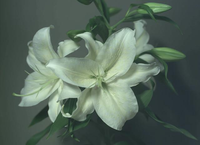 Lily flower 2400dpi f5.6 UV/IR