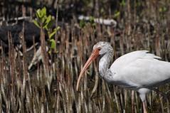 White Ibis 3385 (Tina M Turner) Tags: vacation nature birds animals florida wildlife feathers reserve m ibis tina turner robinson beaks shorebird tinaflorida101610