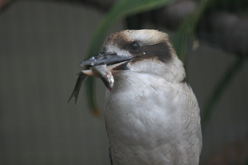 Southern Laughing Kookaburra