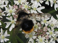 Bee fly (Volucella bombylans) (shadowshador) Tags: life insect fly wildlife insects bee british biology arthropods animalia arthropoda invertebrate invertebrates entomology syrphidae scientific arthropod diptera taxonomy hexapod classification insecta hexapods hexapoda pterygota ecdysozoa neoptera endopterygota aschiza eristalinae volucellini eukaryota volucella brachycera eumetazoa bombylans muscomorpha syrphoidea opisthokonta neomura holozoa filozoa