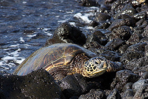 'Anaeho'omalu - Green Sea Turtle (Chelonia mydas)