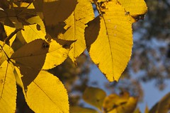 "Hickory Leaves ctrjr 1 • <a style=""font-size:0.8em;"" href=""http://www.flickr.com/photos/30765416@N06/5090755550/"" target=""_blank"">View on Flickr</a>"
