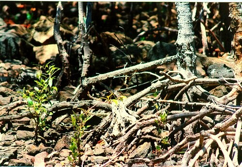 PLANT MILLIONS OF MANGROVES AT RIVERSIDE!! Flood protection + Food-chain frontline! Protect-restore the humble Mangrove forest's *vital* alchemical Nature-secrets! ~ Here tiny seedlings sprout in a tangled family-tree birthing centre. FAVE to support!!!