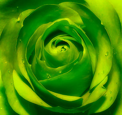 Green Rose (SimonRobson) Tags: life flower color colour macro green nature water up rose closeup photoshop canon garden photography eos photo drops still close photos d ps drop petal pro droplet nik 450 stalk cs4 eos450d efex colourefexpro