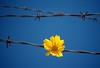 I have seen the map of her body a thousand times & there are still places there I will never stop to understand. ~Story People (Jadydangel) Tags: sky flower yellow metal fence bright blossom gothic goth petal barbedwire bloom barb juxtaposition storypeople randomquotes jadydangel
