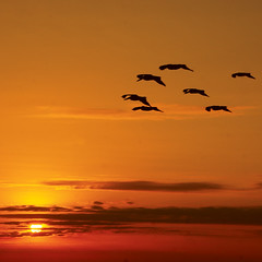 Camino al sol (Romulo fotos) Tags: show sunset orange sun seagulls sol birds clouds atardecer libertad freedom flying ecuador ar gaivotas air laranja flight free liberdade aves pjaros nubes nuvens vol nuages naranja livre aire pssaros gaviotas ocaso libre groups coucherdesoleil lair equador vuelo vo volando grupos mouettes espectculo voir voler devol lesoleil bandada lalibert flickrduel lesoiseaux lquateur asaves rmulomoyaperalta paralelocero lesgroupes parallelzero paralelozero paralllezro