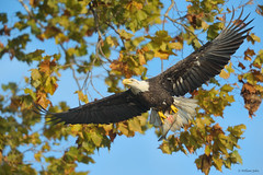 Bald Eagle With Lunch (William Jobes) Tags: eagle prey americanbaldeagle october192010