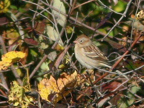 Field Sparrow 20101021