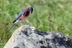 bluebird on rock