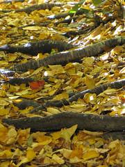Forest Path (BlueRidgeKitties) Tags: yellow leaf northcarolina root blueridgeparkway boonefork westernnorthcarolina southernappalachians ccbyncsa canonpowershotsx10is upperbooneforktrail