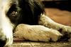 42/52 (fotoham) Tags: dog blackwhite canine tired bordercollie indi lightroom halfaface 52weeksfordog afteragilitytraining