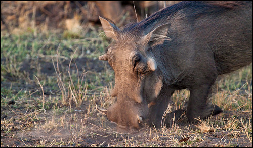 common warthog. Common Warthog Feeding - Phacochoerus africanus