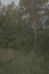 (Przemyslaw.Stroinski) Tags: autumn trees green nature grass yellow flora sigma pale kind birch siena leafs nodes ocher dp1 sigmadp1 paleseptember