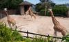 The Giraffe Have a Nice View (deltaMike) Tags: city iso200 giraffe schnivic tarongazoo sydneyaustralia dsc7205nef focallength24mm nikond90 102510 deltamike lens18200mmf3556 flashstatusnoflash exposure1125secatf14