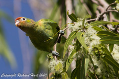 Varied Lorikeet Female (SillyOldBugger (in and out of internet range)) Tags: bird female parrot australia aves queensland avian mountisa minolta3004hsg variedlorikeet psitteutelesversicolor sonya55 sonyalpha55 sonydslta55 wildbirdaustralia