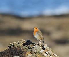 Seaside Robin (Jacqui Herrington:) Tags: bird beach nature robin scotland seaside erithacusrubecula fife wildlife kingsbarns