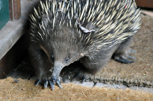 Echidna - our unexpected visitor