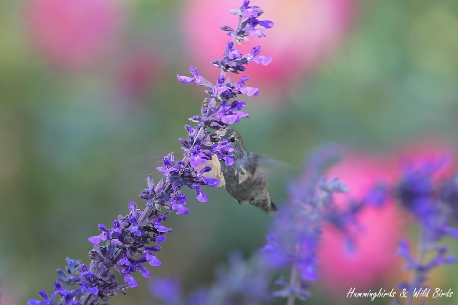 Anna's Hummingbird 111310