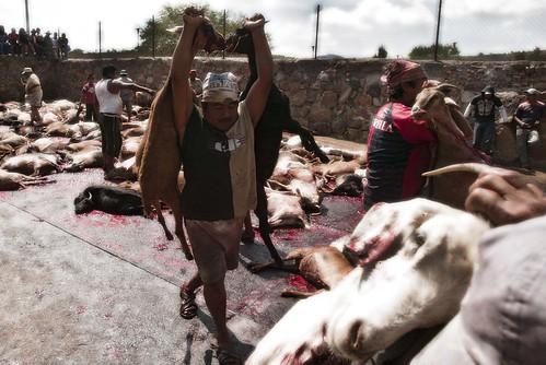 Con una tradicion que data del año 1810 inicia la temporada de -Matanza de Chivos- en una hacienda ubicada al sur de la Sierra Mixteca, matando alrrededor de 11 mil chivos.