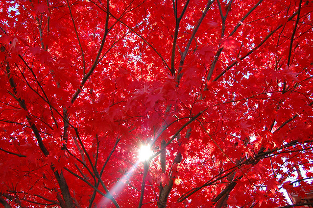 Red Sun Foliage