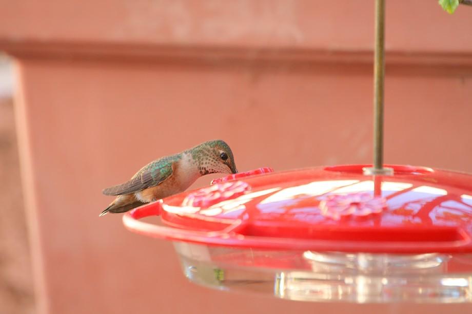 Allen's Hummingbird 111410-2