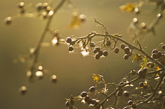 Hawthorn Berries in Dying Light (1963chris) Tags: autumn light sunset tree fall rural evening countryside twilight raw berries sundown sony pottericcarr hawthorntree hawthornberries