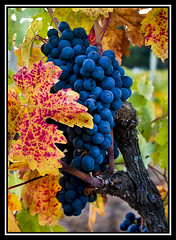 Fall's Glorious Return (Calpastor) Tags: color fall vines italian wine harvest trail grapes napavalley napa silverado vinyard