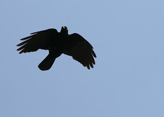 "choucas silhouette in flight 2 • <a style=""font-size:0.8em;"" href=""http://www.flickr.com/photos/30765416@N06/5187074351/"" target=""_blank"">View on Flickr</a>"