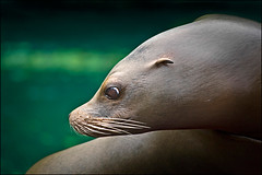 sea lion (heavenuphere) Tags: sea netherlands zoo lion nederland sealion drenthe emmen dierentuin dierenpark dierenparkemmen