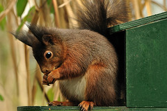 Squirrel (Jan Visser Renkum) Tags: squirrel animalplanet eeekhoorn mothernaturesgreenearth campingdemeibeek