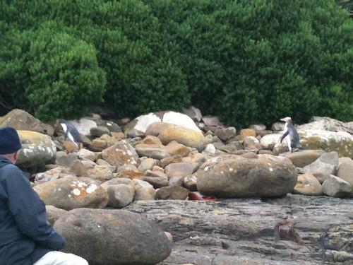 野生のペンギンが巣に戻る姿に感動!