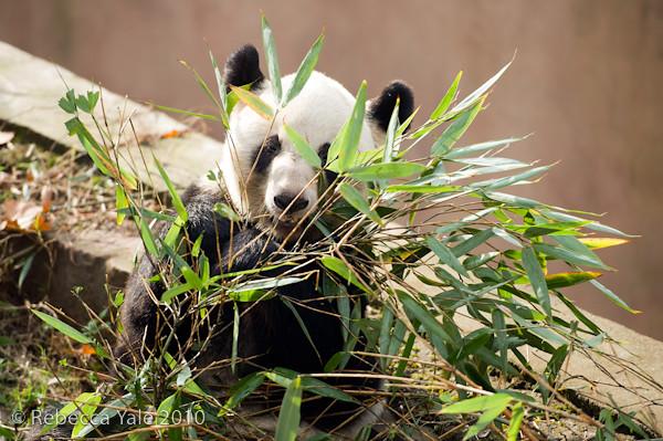 RYALE_Sichuan_Panda_30