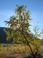 Berk - Birch - Bjrk (naturum) Tags: autumn geotagged nationalpark sweden lappland herfst september lapland birch bjrk sverige berk 2010 zweden abisko nationaalpark norrbotten geo:lat=6827991092 geo:lon=1859150648