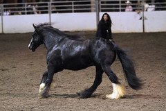 Liberty class (The Pelton Vanners Gypsy Vanner Horses) Tags: horse gypsy vanner