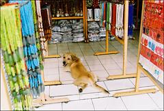Good days in Bali (Twiggy Tu) Tags: street trip bali dog film kuta 2010 contaxrx carlzeissdistagont35mmf14