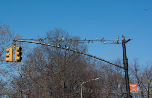 Birds on a wire; pigeons on a streetlight, NYC