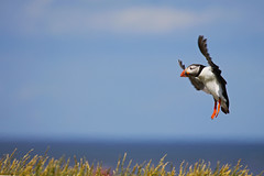 In A Flap (Ian Lambert) Tags: sea summer bird inflight fishing landing northsea puffin migration sandeels innerfarne farneisland stapleisland nortumbria onmyholidays