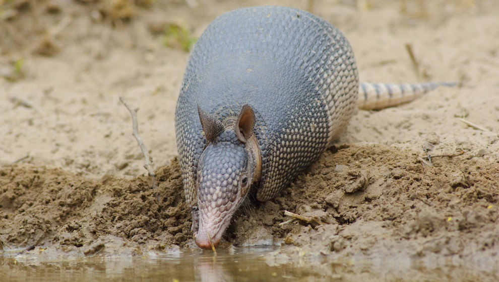 Wildlife: Armadillo drinking from wetlands close to US-Mexico Wall