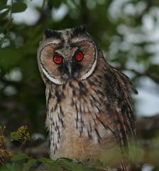 Long-Eared owl 6 (FarmerJohnn) Tags: owls longearedowl wildbirds