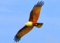 I soar against the blue skies (AJAY B2010) Tags: india kerala fisheagle kovalambeach mygearandme bhoopchand ajaybhoopchand tajvivantalagoon