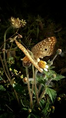 Borboleta (Isadora Tavares) Tags: cellphonephotography celular cell fotodecelular borboletas nature bludash