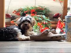Flo Yorkie Poo Dog at garden door (@oakhamuk) Tags: flo yorkiepoo dog garden door
