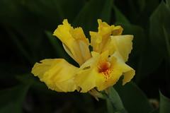 花しょうぶ Iris ensata var. ensata (eyawlk60) Tags: 花 菖蒲 黄色 花しょうぶ beautiful flower iris ensata