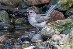 Tufted titmouse (ricmcarthur) Tags: morpeth ontario canada ca baeolophusbicolor tuftedtitmouse titmouse rondeau yard pond ricmcarthur rickmcarthur rondeauric