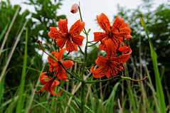 The late trumpet lily. (Michael@0730) Tags: gyeonggido southkorea kor