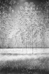Ghostly trees (emanuele_f) Tags: ghost trees wood landscape infrared blackandwhite mamiya mamiyapress sekor 65mm f63 6x9 orangefilter sfx200 ilford xtol analog expiredfilm