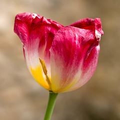 Brantes (krieger_horst) Tags: frankreichbrantes tulpe blume blüte